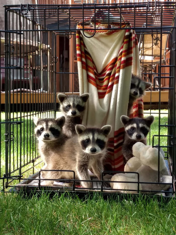 Baby raccoons pose for picture day