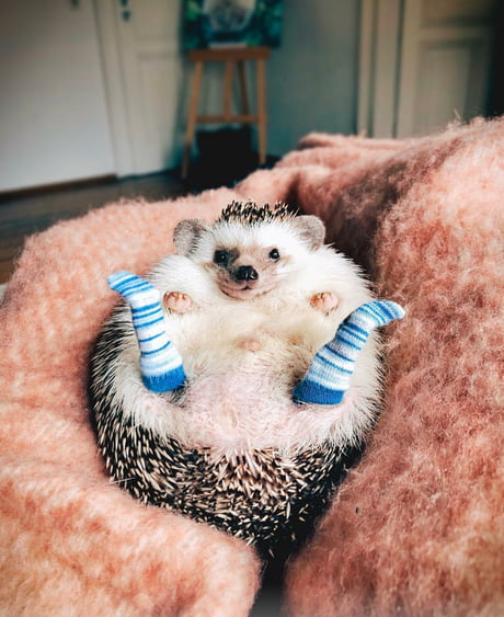 Hedgehog with socks!