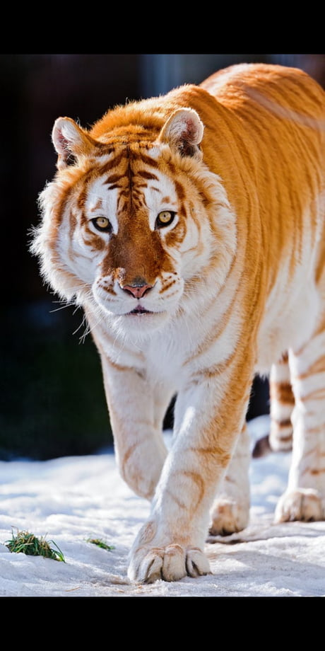An extremely rare species of tigers called Golden Tiger. It is believe that they are 30 or less of them existing on earth. 1