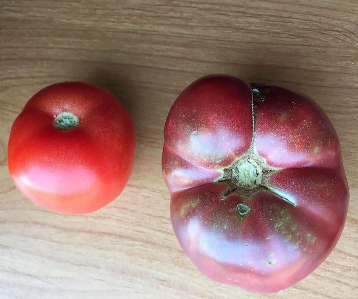 Modern Tomato Vs. One Grown From 150-Year-Old Seeds