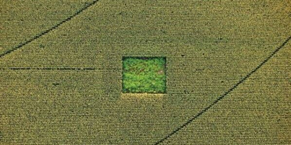 Cannabis field hidden in a corn field
