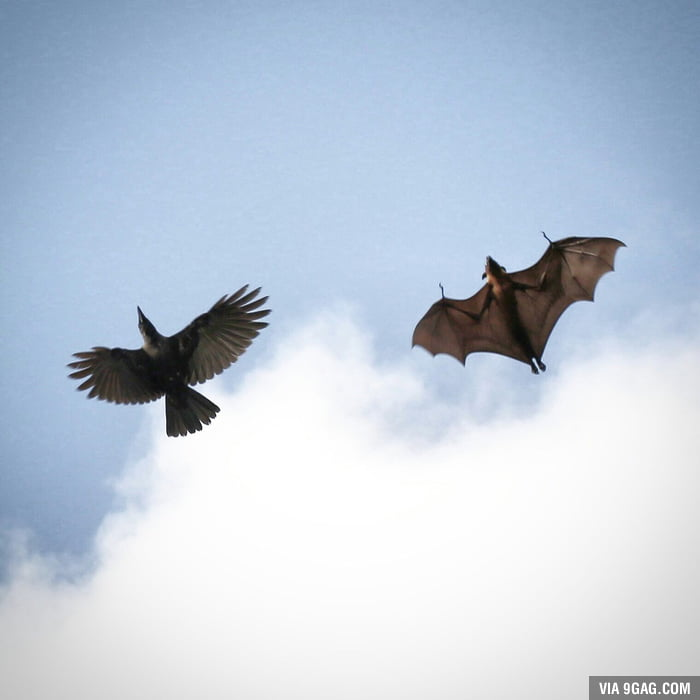 A photo I took of a bat and crow flying together