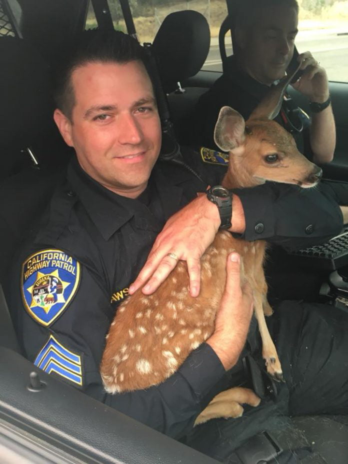 This fawn was saved from a wildfire by a kind California highway patrolmen