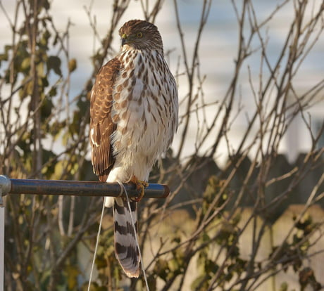 The intense glare of The Coopers Hawk.