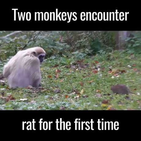 Two monkeys meet a rat for the first time
