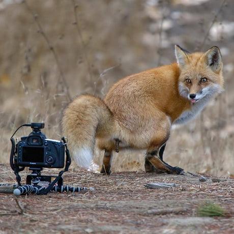 Fox Ass