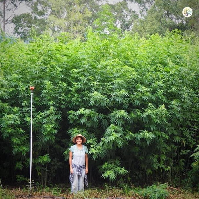 Did you know that one hectare of industrial hemp can absorb 22 tonnes of CO2 per hectare! It's possible to grow 2 crops per year, so absorption is doubled! Hemp's rapid growth (up to 4 metres in 120 days) makes it one of the fastest CO2-to-biomass conversion resources!
