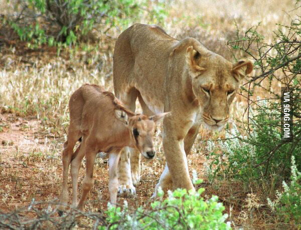 This antelope is adopted and raised by this lion for 3 years