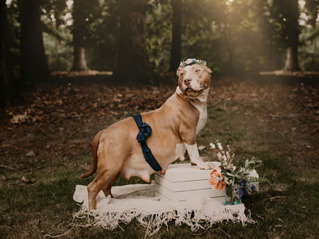 Shelter Gives Formerly Abandoned Pit Bull Her Own Maternity Photo Shoot