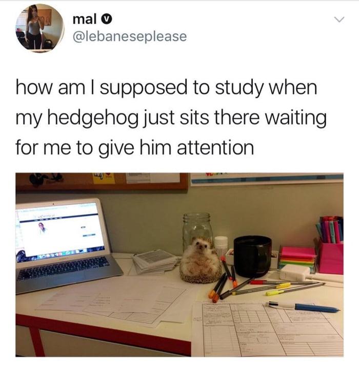 Who else studies with a hedgehog?
