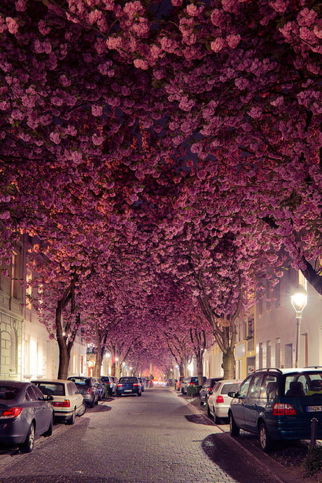 Cherry blossoms in Germany