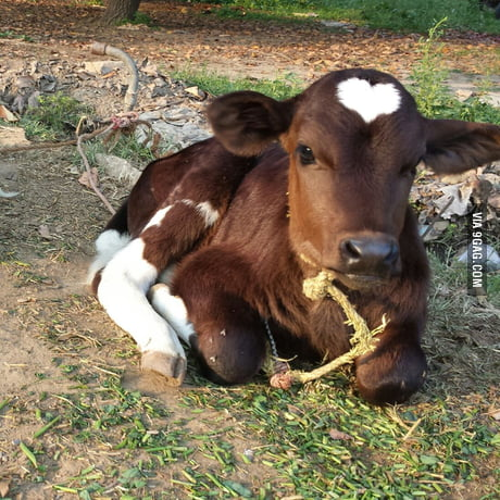 I present to you my cow, who has a heart on her head.
