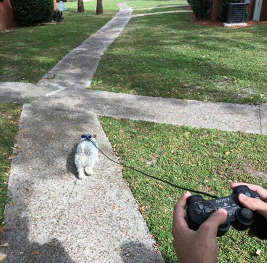 Taking my dog out for a walk.