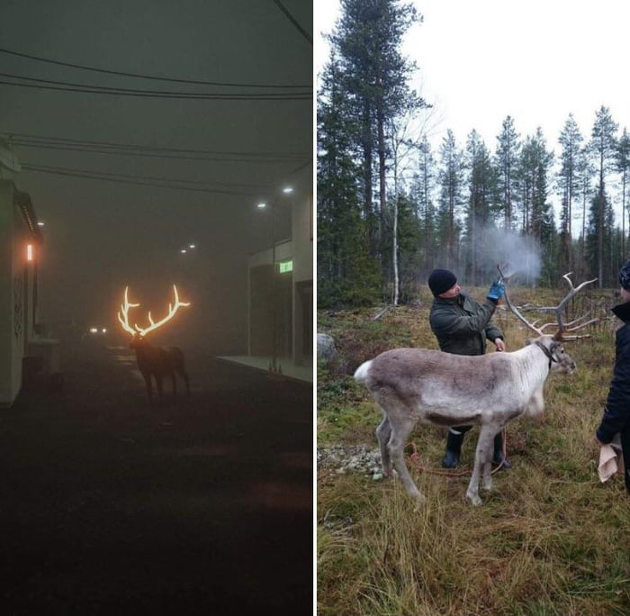 Finland have started spraying Reindeer with reflective paint to lower road deaths.