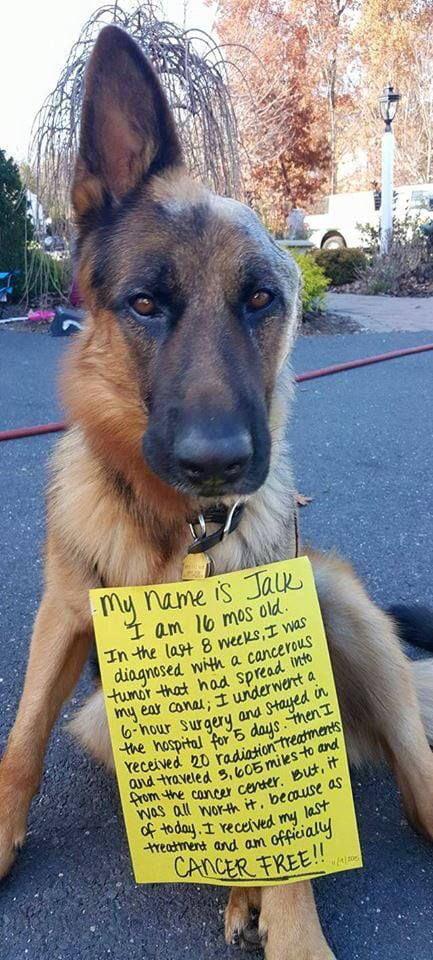 Jack the cancer free one eared good boy