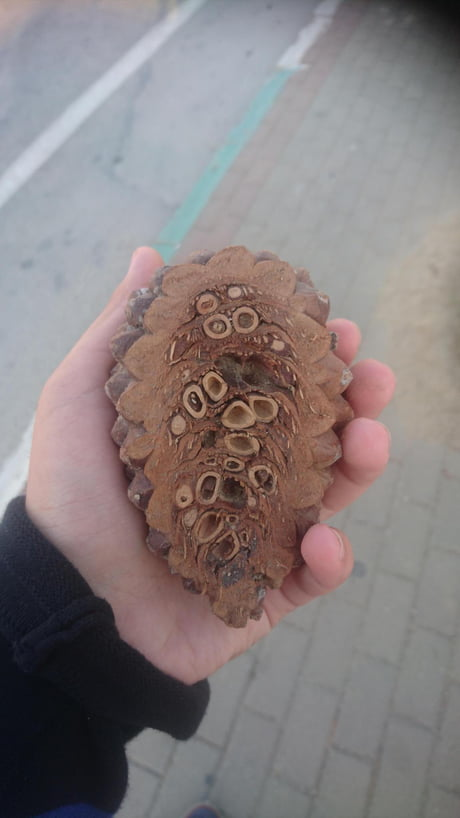 This is what the inside of a pine cone looks like
