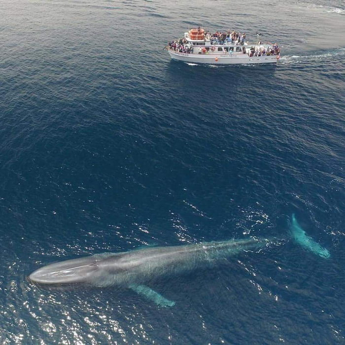 Blue whale. 75-foot boat for scale.