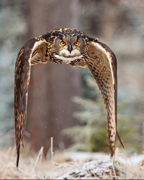 Awesome This Eurasian eagle-owl looking like a spaceship