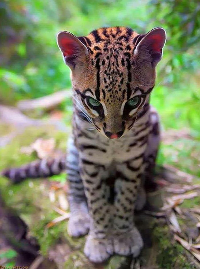 This little ocelot.