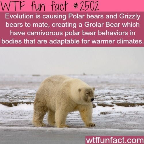 The Grolar Bear is a fertile hybrid between the Polar bear and Grizzly