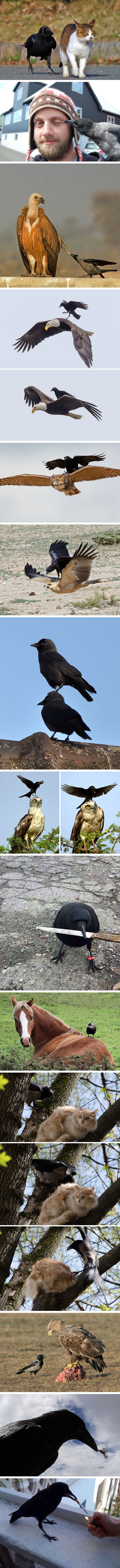 Corvids Are The Biggest Baddasses In The Animal Kingdom