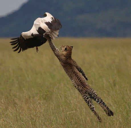 This Photo of a Leopard trying to catch its prey 1
