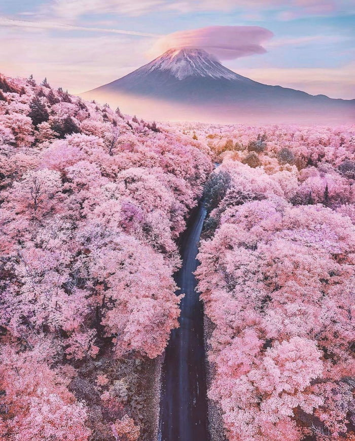 The beautiful Cherry blossom in Japan