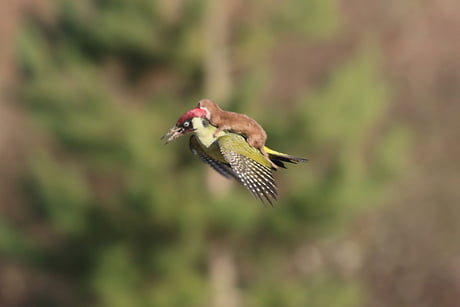 Baby weasel takes a magical ride on woodpecker's back.. 1