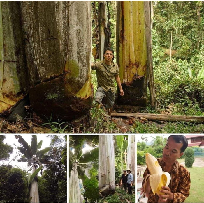 Biggest banana tree grows in New guinea. It's 20 meters high and bananas weight up to 4 Kg