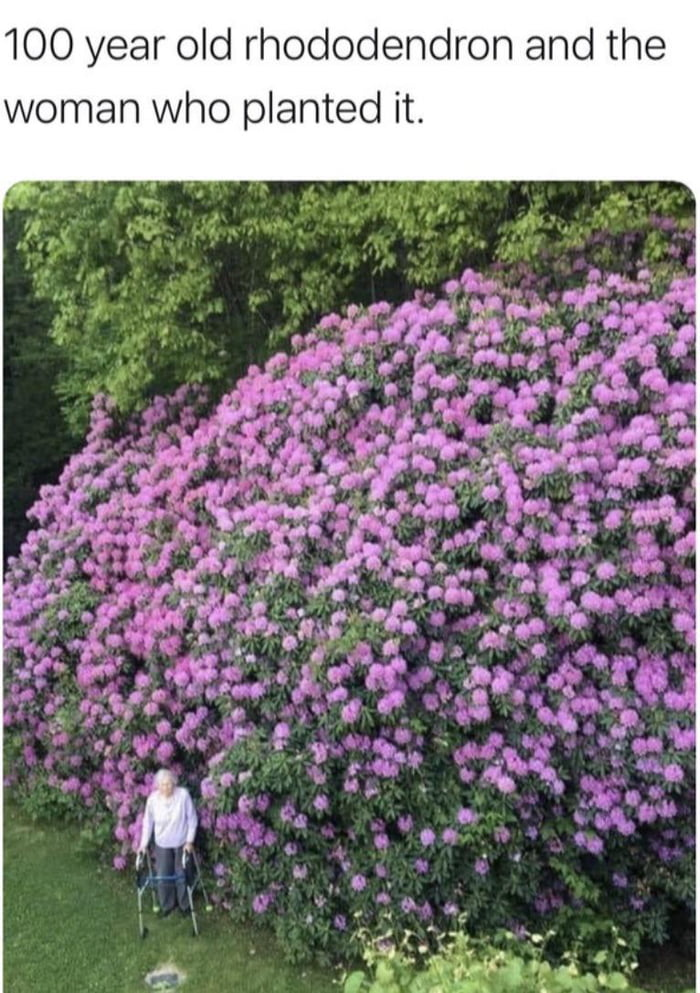 This lady planted this rhododendron around 100 years ago