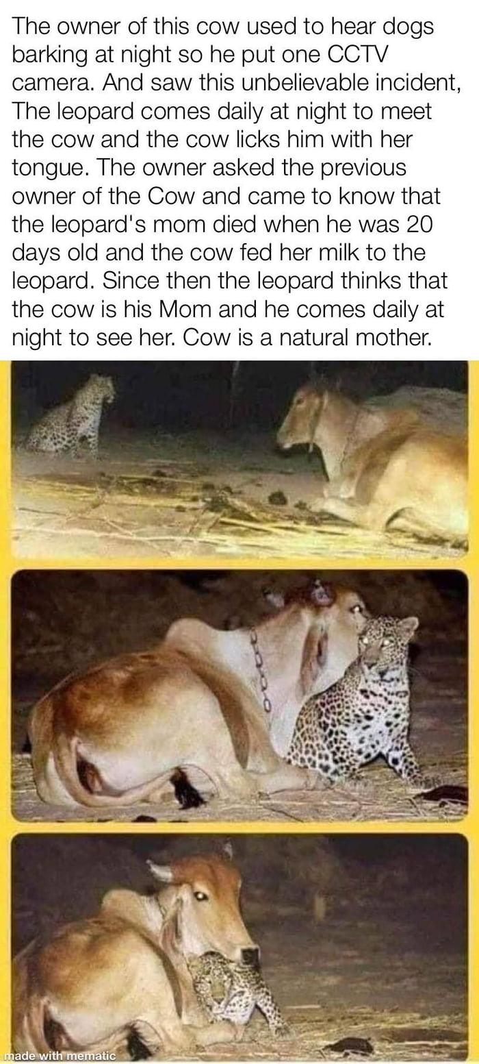 Cow go moo