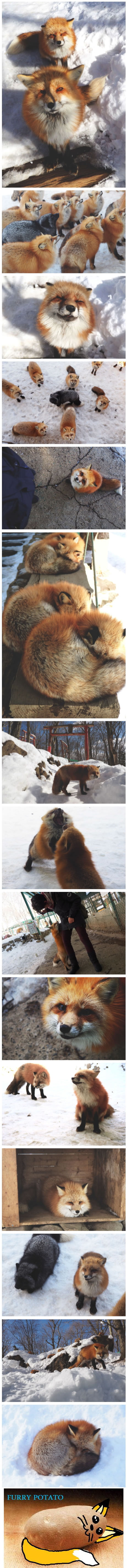 The Fox Village In Japan, The Fluffiest Place On Earth