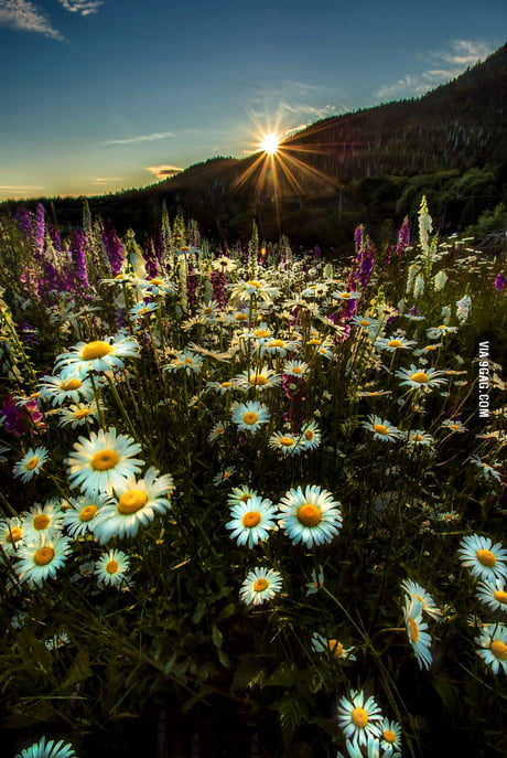 Daisies in gold light